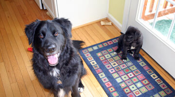 2-year-old-oak-flooring-with-my-dogs