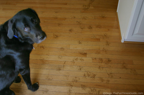 Our dog left lots of muddy paw prints on the kitchen hardwood floors.
