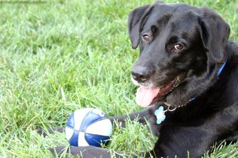 our-black-lab-great-pyrenees-dog