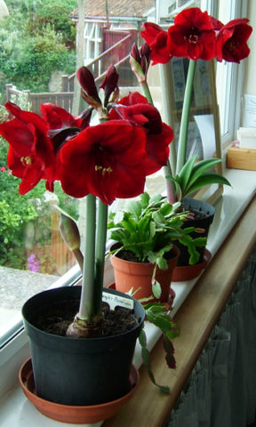 red-amaryllis-flowers-by-Aqua-Marina.jpg