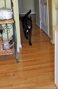 tenor-dog-running-on-hardwood-floor.jpg